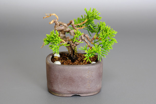 シンパク-F1(真柏盆栽)Juniperus chinensis bonsai