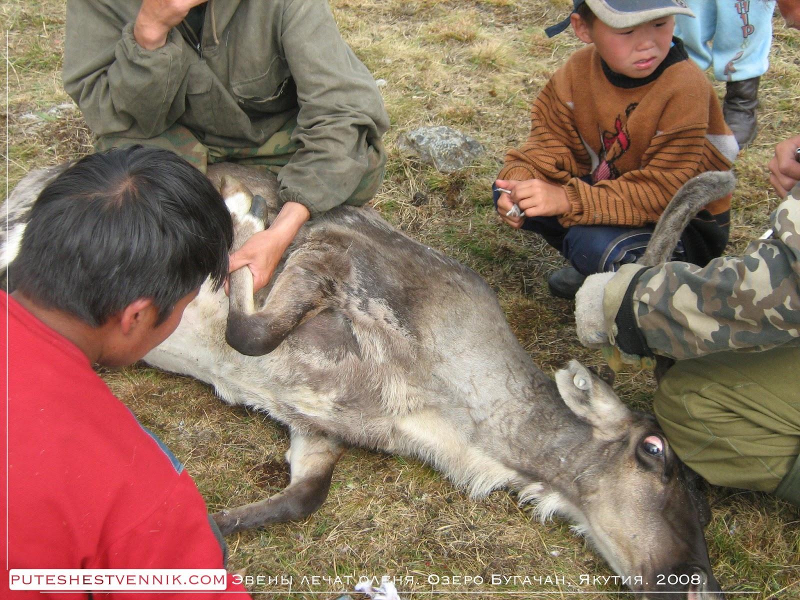 Эвены лечат оленя