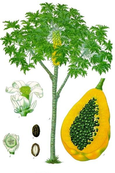 Đu Đủ - Carica papaya - Nguyên liệu làm thuốc Chữa Bệnh Tiêu Hóa