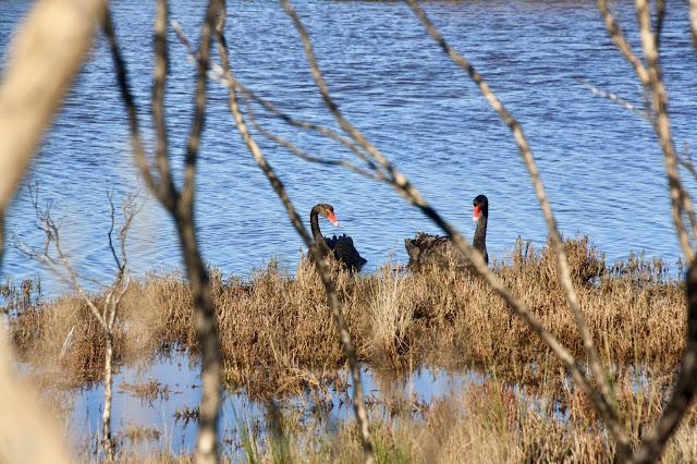 Warringine Wetlands, Hastings black swans