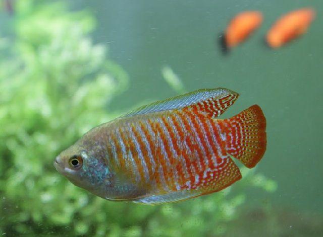 Makanan Ikan Gurami Cepat Besar