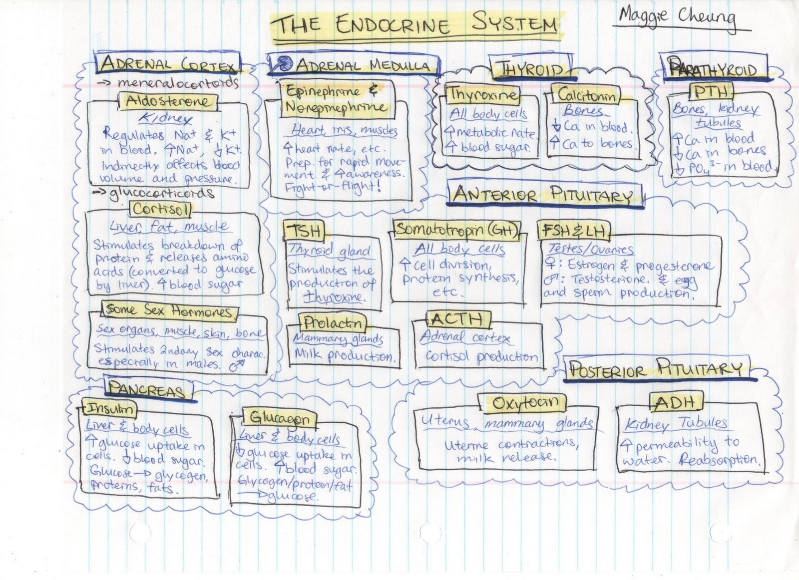 Sbi4u6 01 Chapter 8 Notes Endocrine System Chart