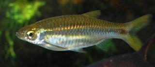 Merupakan Ikan Predator