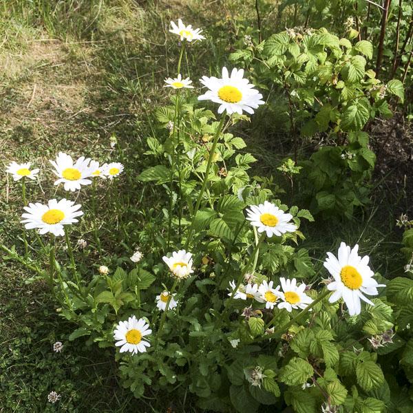 prästkragar, daisies