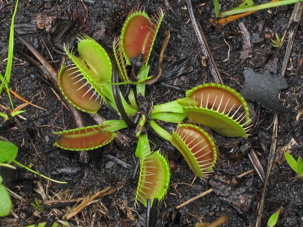 Venus Flytrap Dionaea Muscipula Carnivorous Plant Grow And Care