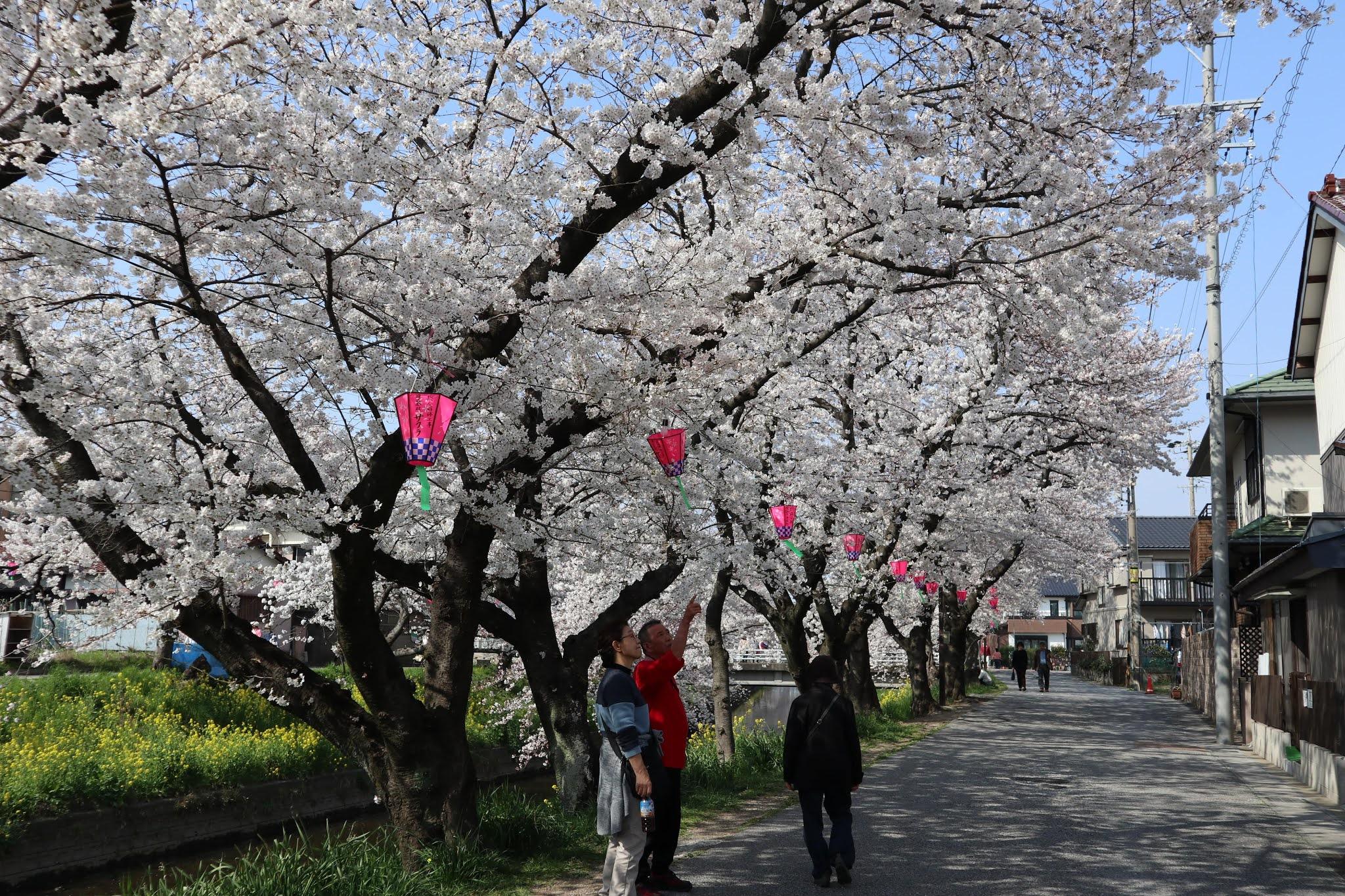 岩倉桜まつり2