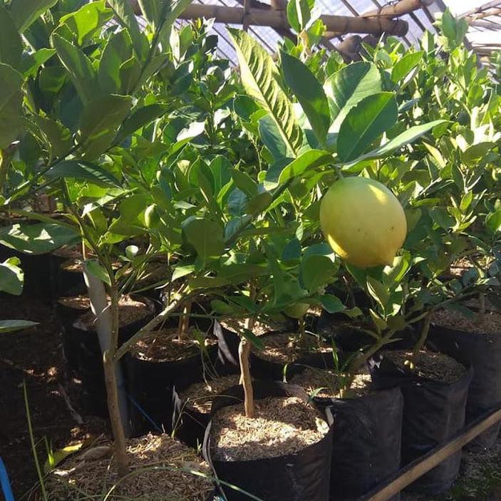 Bibit jeruk lemon california import hasil cangkok cepat berbuah Kalimantan Barat