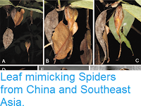 http://sciencythoughts.blogspot.co.uk/2016/11/leaf-mimicking-spiders-from-china-and.html