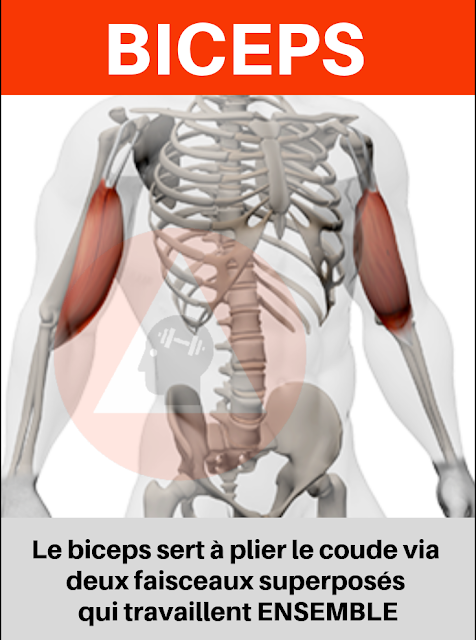 musculation fitness anatomie biceps longue portion courte portion