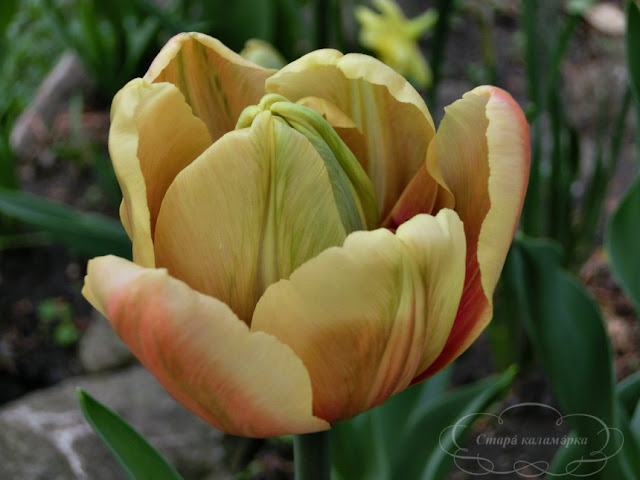 тюльпан La Belle Epoque, тюльпаны, сад, цветник, тюльпаны в саду, сорта тюльпанов, фото тюльпанов