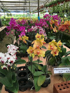 Phalaenopsis orchid at World Farm