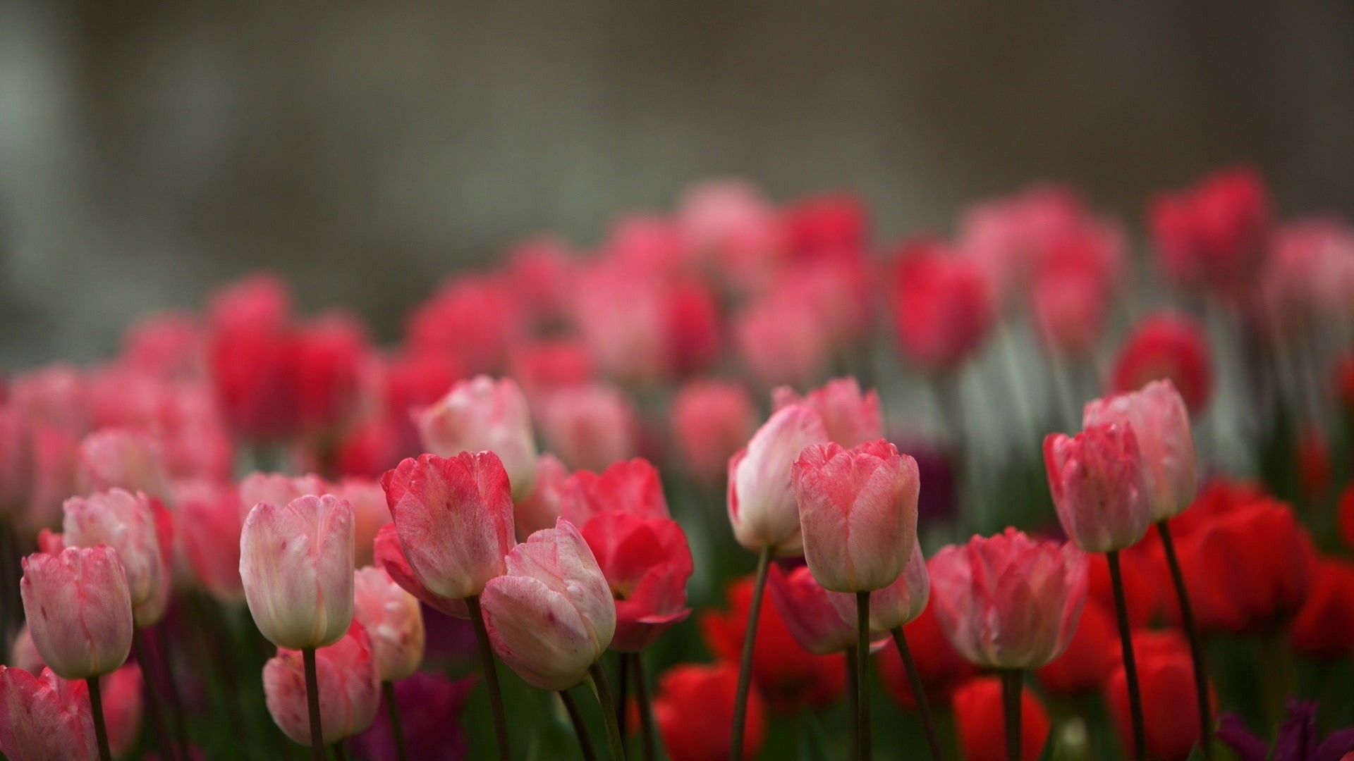 Pink tulip flowers in blur background HD Wallpaper