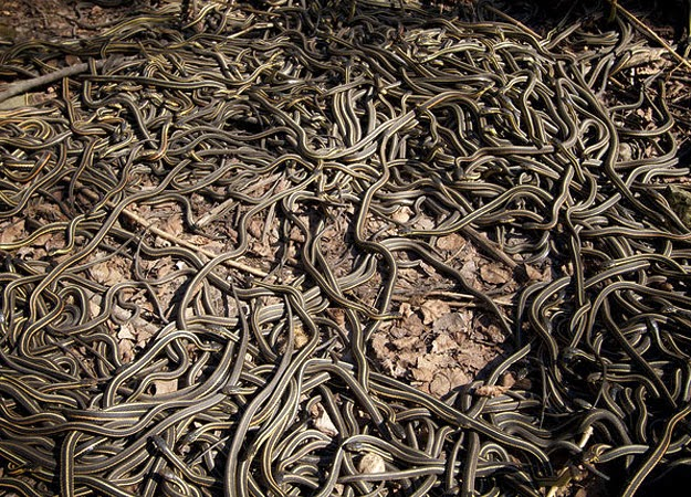 Mass gathering of Garter snake at Canada Manitoba