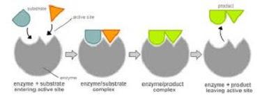 Model Interaksi Enzim Substrat 1