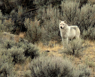 Trying to Understand the Killing of the Canyon Pack's Alpha Female
