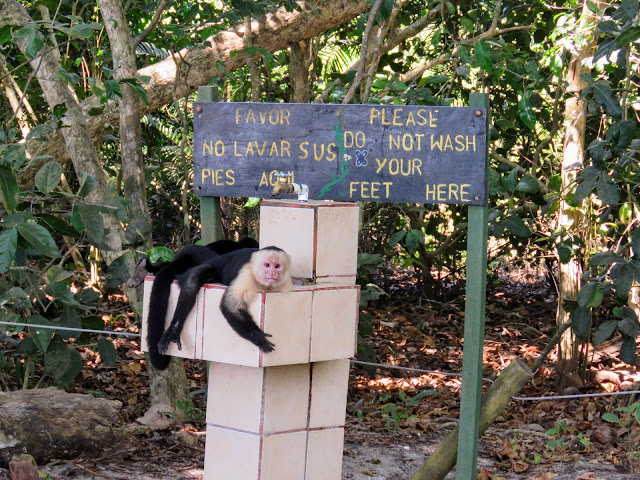 Costa Rica Wildlife: Capuchin Monkey at Manuel Antonio NP