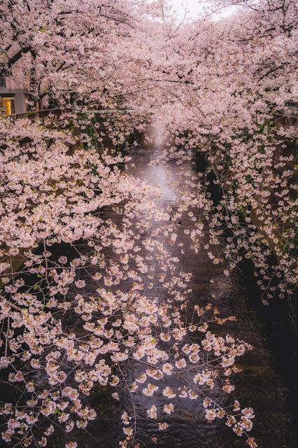 目黒川,桜,桜並木,中目黒