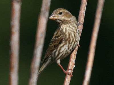 Photo of female Purple Finch on plant stalks