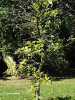 Kola nut tree, Foster Botanical Garden - Honolulu, HI