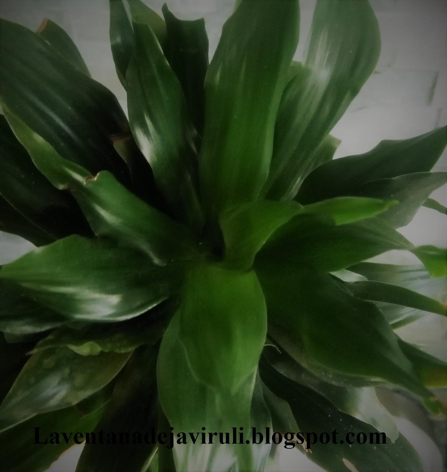 la ventana de javiruli plantas de interior 53 dracena