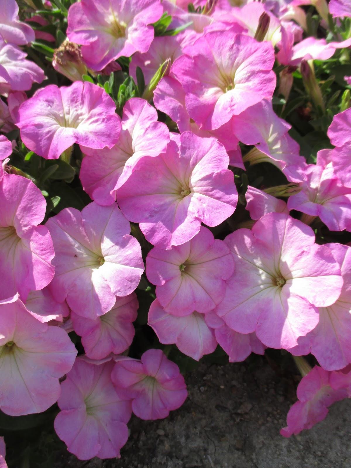 Plant Petunias Rotary Botanical Gardens