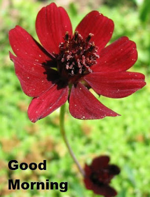 Good Morning Images with Flowers - Chocolate Cosmos Flower Images
