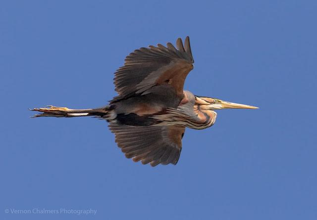 Purple Heron  in Flight over the Diep River Woodbridge Island