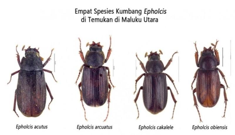 Empat Jenis Spesies Kumbang Baru di Temukan LIPI di Maluku Utara
