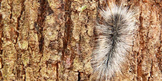 ulat bulu adalah serangga kecil yang menggemaskan dengan penampilan berbulu halus dan keg Cantik Namun Berbahaya Ulat Bulu Paling Mematikan Mampu Membunuh Manusia