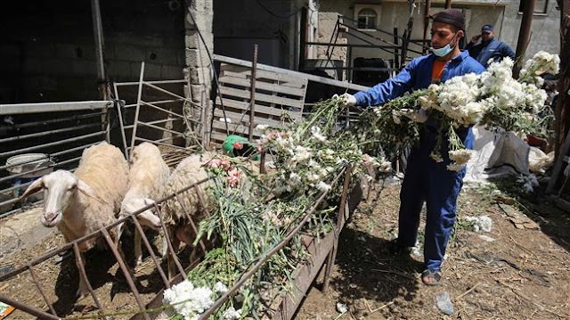 Gaza Strip farmers feed flowers to sheep as lockdown leads to lack of demand