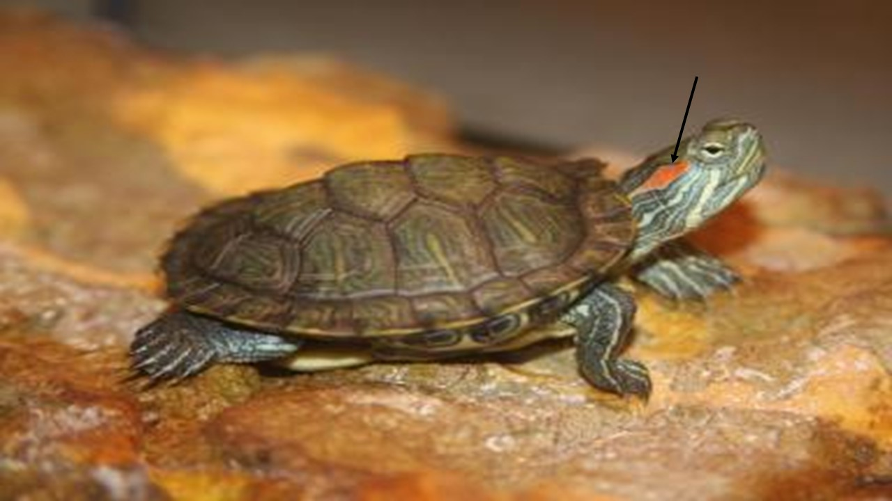 Biomimicry Selangor: The journey of a turtle: Turtle\'s Anatomy - Ears