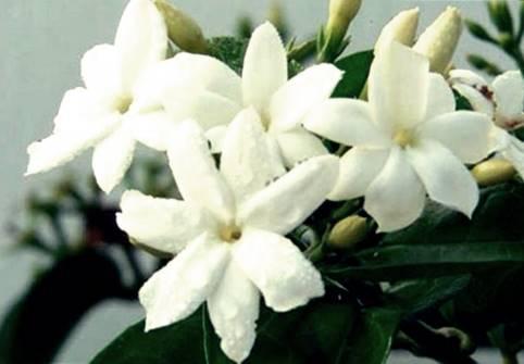 Bunga Melati Putih atau Puspa Bangsa asli Indonesia