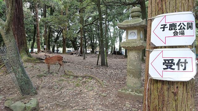 奈良公園 子鹿のお披露目会場