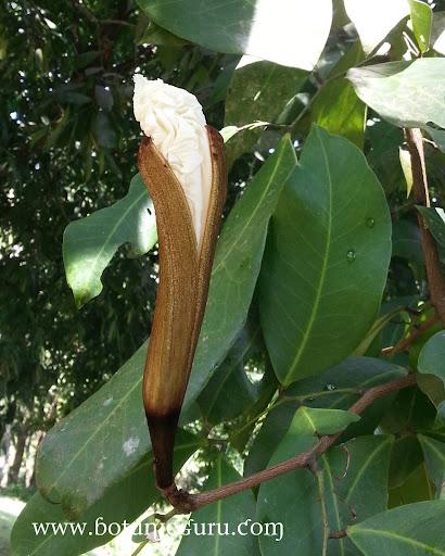 Baikiaea insignis, Nkobakoba flower bud