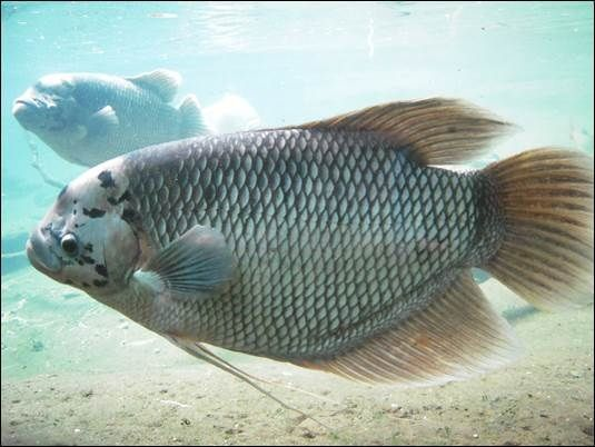 Ikan Air Tawar yang Biasa Dijual di Pasar