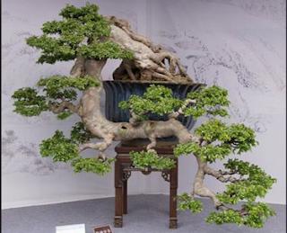 gambar bonsai sentigi gunung