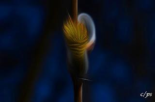 Weidenkätzchen, katwilg, vrbina maca, willow catkin, Corylus maxima, Salix spec, Реса̀, ко̀тенце, Ament, Amento, Chaton mâle de saule, Hariliku sarapuu urvad,