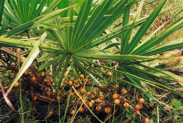 Things You Might Now Know About Saw Palmetto