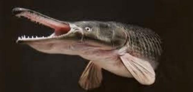 Alligator gar(atractosteus spatula)