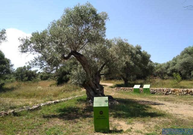 Parcel·la de les oliveres