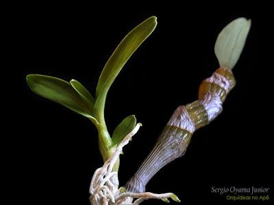 Keiki de Dendrobium híbrido