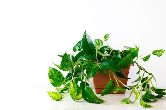 نبات البوتس أو البوثوس نبات اللبلاب