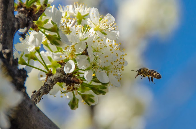What is Bee Venom made of and How is Bee Venom Used by Humans