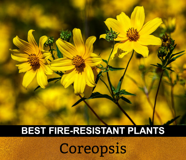 Best Fire Resistant Plants Coreopsis