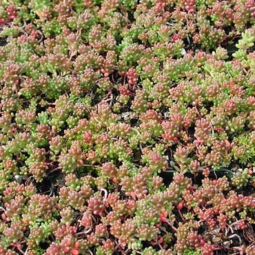 Hardy Sedums Some Great Varieties To Try
