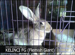 Kelinci FG (Flemish Giant) mengenal dan mengetahui perbedaannya