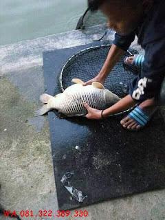 Master Essen Ikan Mas Kilo Gebrus