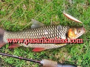 Harga Jual Benih Ikan Jelawat Di Pasaran