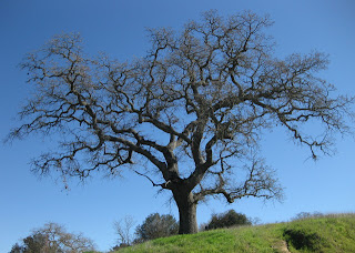 Oak tree near the summit of Country Drive, Gilroy, California