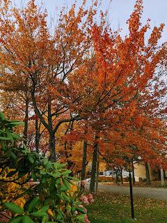 Maple Tree With Orange Leaves